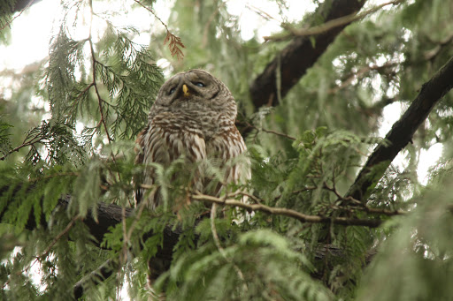Barred Owl (JK)