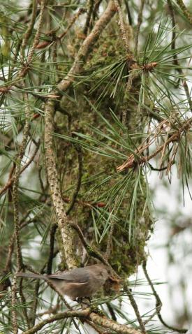 Bushtit nest & Bushtit (JK)