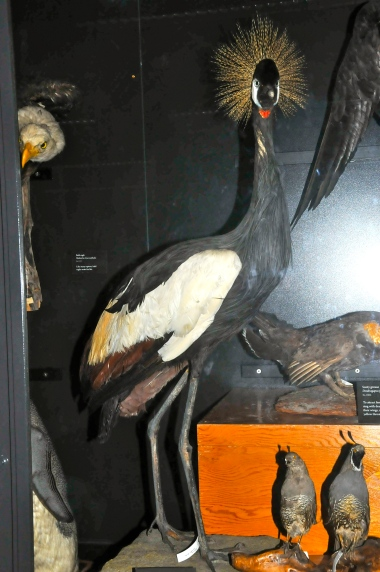 Black Crowned Crane (with wrongly painted face) (KB)