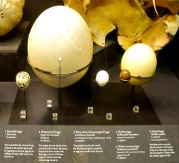 Bird eggs sizes compared - Elephant Bird to Hummingbird (KB)