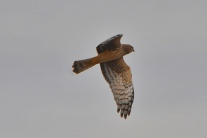 Northern Harrier (KB)