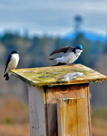 Tree Swallows on nestbox (KB)