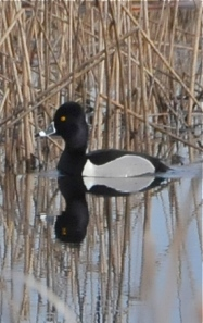 Ring-necked Duck (KB)