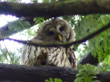 Barred Owl (LS)