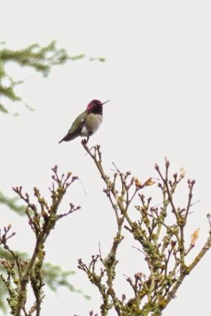 Anna's Hummingbird (LS)