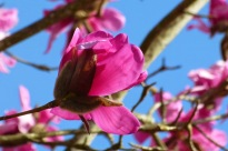 Magnolia blossom (MS)