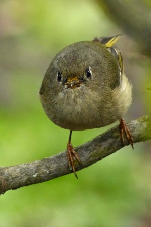 Ruby-crowned Kinglet (MS)