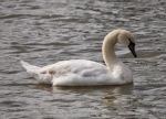 Mute Swan (P&A)