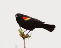 Red-winged Blackbird (P&A)