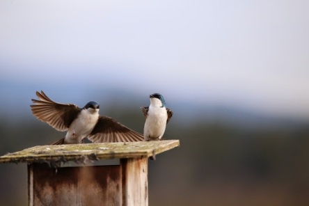Tree Swallows on nestbox (P&A)