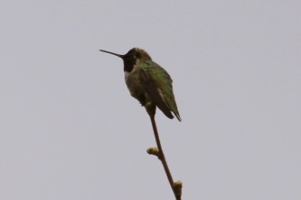 Anna's Hummingbird (TC)
