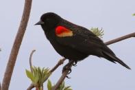 Red-winged Blackbird (TC)