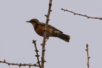 Varied Thrush (TC)