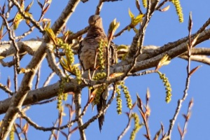 Mourning Dove (DM)