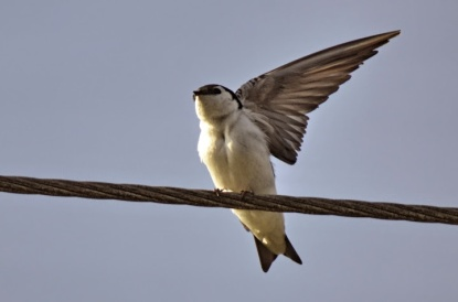 Violet-green Swallow (GB)