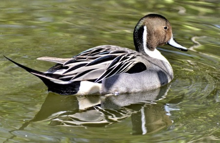 Northern Pintail (m) (GB)