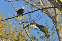 Bald Eagles (KB)