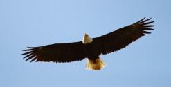 Bald Eagle (P&A)