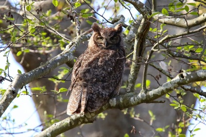 Great Horned Owl (P&A)