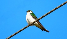 Violet-green Swallow (P&A)