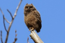 Great Horned Owl chick (TC)