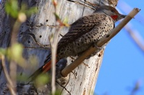 Northern Flicker (m) (TC)