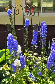 Delphinium at Earthwise (KB)