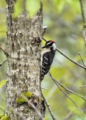 Downy Woodpecker (GB)