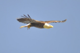 Bald Eagle (GB)