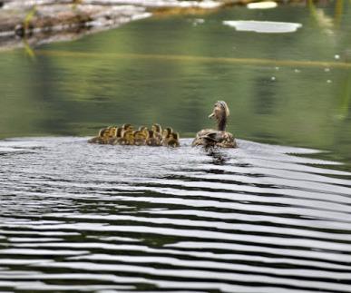 Mallard & 11 chicks (GB)