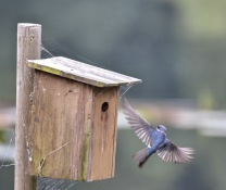 Tree Swallow (GB)