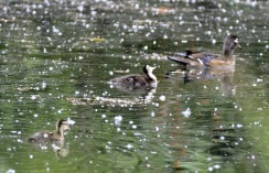 Wood Duck & chicks (GB)
