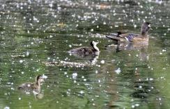 Wood Duck & chicks (GB)