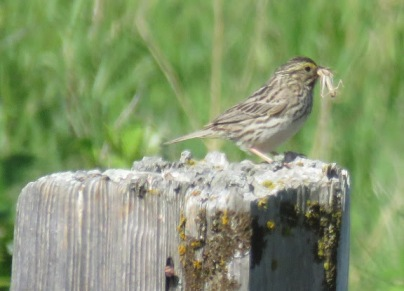 Savannah Sparrow (JK)