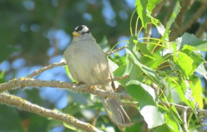 White-crowned Sparrow (JK)