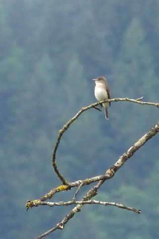 Willow Flycatcher (MS)