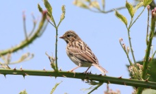 Savannah Sparrow (P&A)