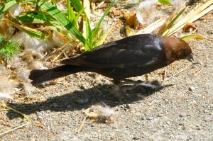 Brownheaded Cowbird (KB)