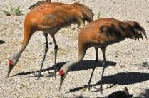Sandhill Cranes (KB)
