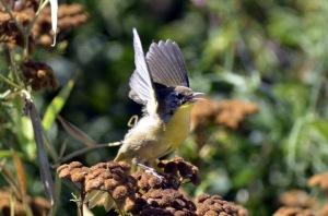 Common Yellowthroat (GB)