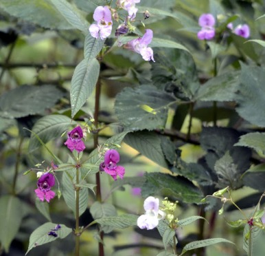 Himalayan Orchid (GB)