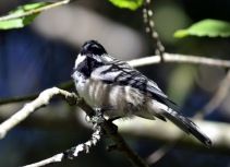 Black-capped Chickadee (GB)