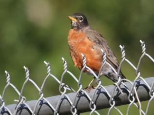American Robin (JM)