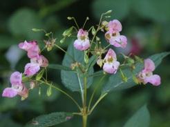 Himalayan Orchid (JM)