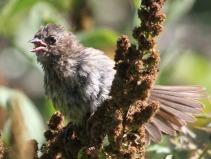 Sparrow (JM)