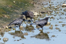 Northwestern Crows (MS)