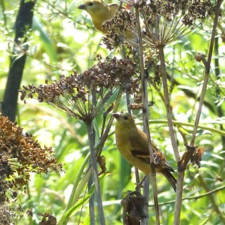 American Goldfinches (MS)