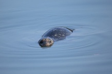 Harbour Seal (P&A)