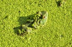 bullfrog in duckweed (GB)