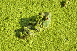 bullfrog in duckweed (GB)